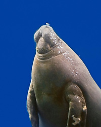 African manatee, West African manatee or seacow, Trichechus senegalensis, threatened species, IUCN listed as vulnerable
