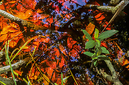 High angle view of fallen mangrove leaves in shallow water, with reflection of the mangrove trees, Florida, USA © David A. Ponton