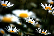 Flowering daisies in a garden with a lush green background