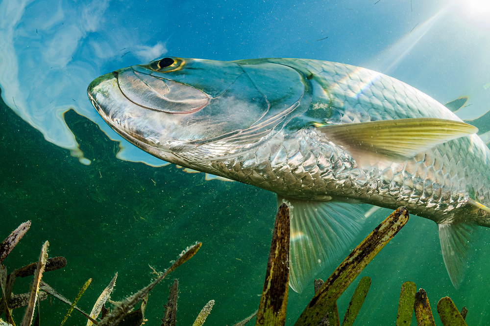 A tarpon (Megalops atlanticus) hunting in a seagrass (Thalassia testudinum) meadow in the Florida Keys, USA.