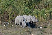 Pair of Indian rhinoceroses (Rhinoceros unicornis) in Kaziranga National Park, Assam, north-east India.