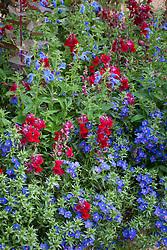 Anagallis monellii AGM (Blue pimpernel) with Salvia patens AGM (Gentian sage) and Antirrhinum 'Sonnet Crimson' (Sonnet Series) - snapdragon