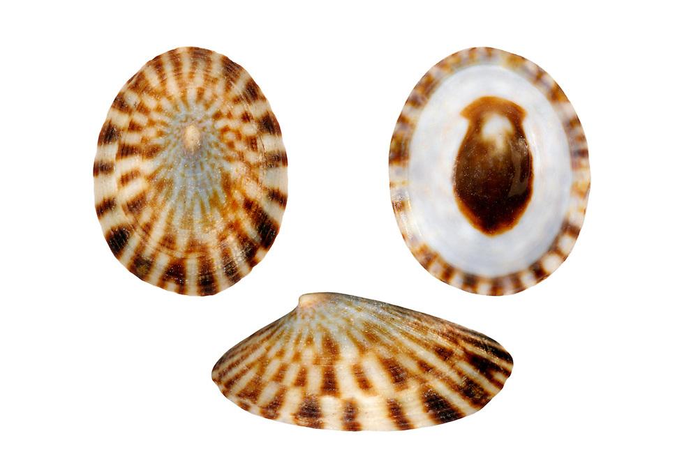 Common Tortoiseshell Limpet - Tectura testudinalis