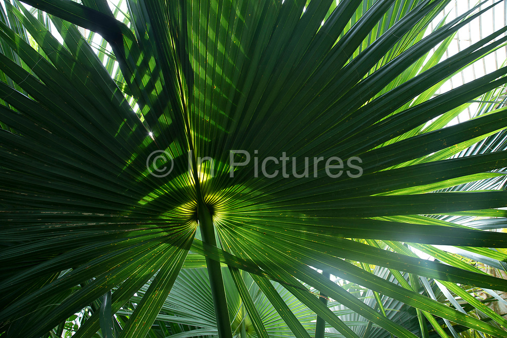 Close up of palm plants in the Palm House at Kew Gardens in London, United Kingdom. The Royal Botanic Gardens, Kew, usually referred to simply as Kew Gardens, are 121 hectares of botanical gardens and glasshouses between Richmond and Kew in southwest London. It is an internationally important botanical research and education institution with 700 staff, receiving around 2 million visitors per year. Its living collections include more than 30,000 different kinds of plants.