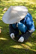 A gardener wearing a straw cone hat working in a mossy area of the Kenrokuen Garden, Kanazawa, Ishigawa, Japan