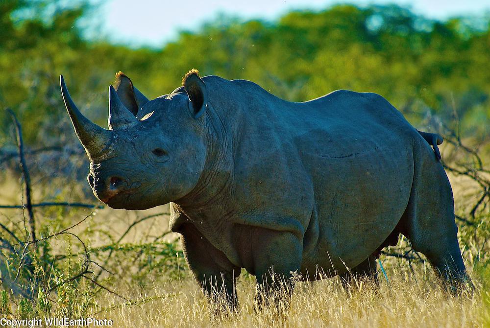 Black Rhinoceros Etosha Park Namibia