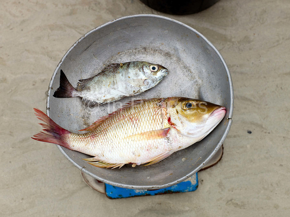 Freshly caught fish on the weighing scales, Talisay, Santa Fe, Bantayan Island, The Philippines. Every morning at 7 am fish vendor Imelda Esgana meets the fishermen as they return from the sea with their catch. After sorting and weighing, Imelda sells the fish locally by going house to house. On November 6 2013 Typhoon Haiyan hit the Philippines and was one of the most powerful storms to ever make landfall. Three-quarters of the island's population of about 136,000 depend on fishing as their main source of income. Thousands lost their boats and equipment in the storm. Oxfam is working to support the immediate and long-term needs of affected communities on Bantayan Island including establishing boat repair stations in Bantayan.