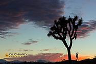 Joshua Trees silhouetted in sunset light in Joshua Tree National Park, California, USA