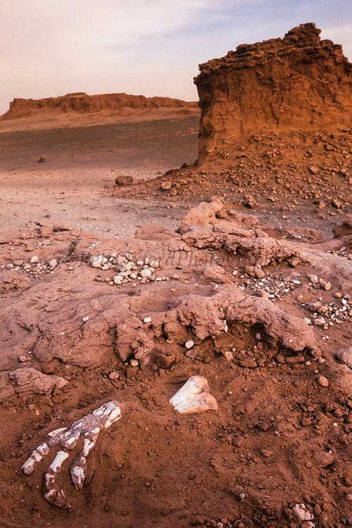 Fossilized claw (Protoceratops dinosaur)<br /> near Flaming Cliffs<br /> Gobi Desert<br /> Mongolia