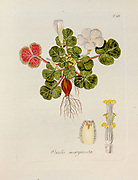Wood sorrel (Oxalis marginata). Illustration from 'Oxalis Monographia iconibus illustrata' by Nikolaus Joseph Jacquin (1797-1798). published 1794