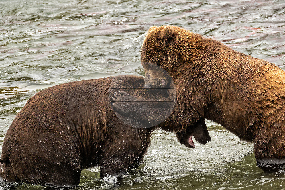 Sub-adult Brown Bears play fight at Brooks Falls in Katmai National Park and Preserve September 15, 2019 near King Salmon, Alaska. The park spans the worlds largest salmon run with nearly 62 million salmon migrating through the streams which feeds some of the largest bears in the world.