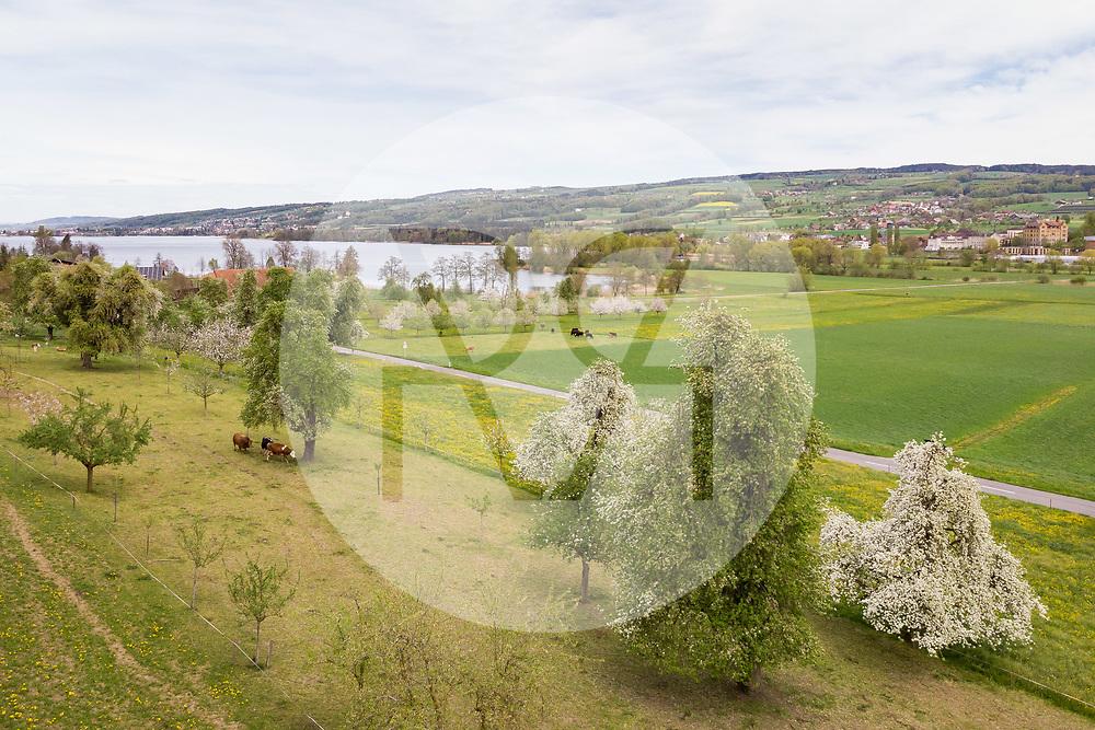 SCHWEIZ - BALDEGG - Kuhweide und Hochstamm-Obstbäume am Baldeggersee - 25. April 2019 © Raphael Hünerfauth - https://www.huenerfauth.ch