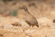 sand partridge (Ammoperdix heyi) is a gamebird in the pheasant family Phasianidae of the order Galliformes, gallinaceous birds. Photographed in Israel, Negev Desert in June