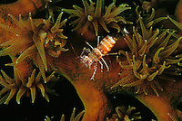 Shrimp on a tubasraea coral.
