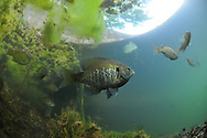 Bluegill<br /> <br /> Paul Vecsei/Engbretson Underwater Photography