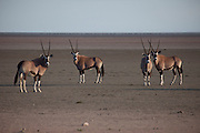 A herd of oryx antelope near the Halali restcamp at Etosha National Park in northern Namibia.