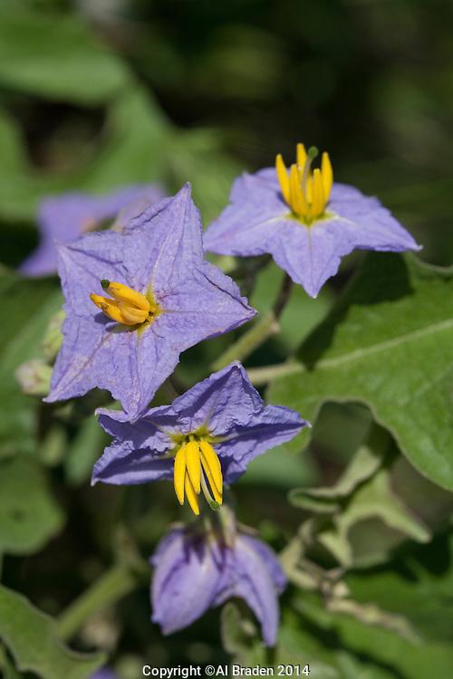 Silver-leaf Nightshade (Solanum elaeagnifolium), Blanco County, Texas
