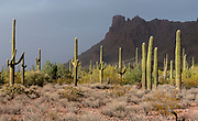 Forest of Saguaros in Organ Pipe Cactus National Monument, southern Arizona