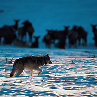 Ywolf01-The alpha male from the Chief Joseph pack walks through Lamar Valley in Yellowstone National Park in seach of a mate. 1/97