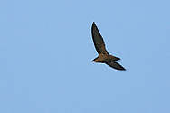 Chimney Swift - Chaetura pelagica