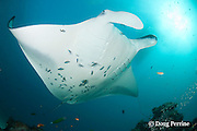 reef manta ray, Manta alfredi (formerly Manta birostris ), with cephalic fins unrolled, being cleaned by moon wrasses, Thalassoma lunare, Sunlight Thila, Lankan, North Male Atoll, Maldives ( Indian Ocean )