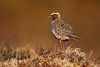 Golden Plover; Iceland; Myvatn; Pluvialis apricaria; Thingeyjarsyslur
