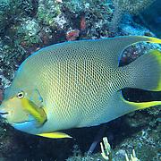 Blue Angelfish inhabit reefs and surrounding areas in Florida, Bahamas, northern Caribbean and Bermuda; picture taken Florida Keys.