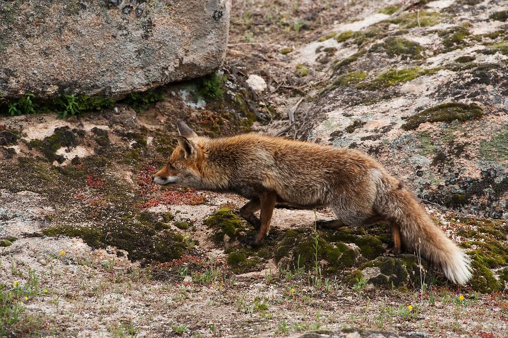 Red Fox (Vulpes vulpes)<br /> Sierra de Andújar Natural Park, Mediterranean woodland of Sierra Morena, north east Jaén Province, Andalusia. SPAIN<br /> <br /> Mission: Iberian Lynx, May 2009<br /> © Pete Oxford / Wild Wonders of Europe<br /> Zaldumbide #506 y Toledo<br /> La Floresta, Quito. ECUADOR<br /> South America<br /> Tel: 593-2-2226958<br /> e-mail: pete@peteoxford.com<br /> www.peteoxford.com
