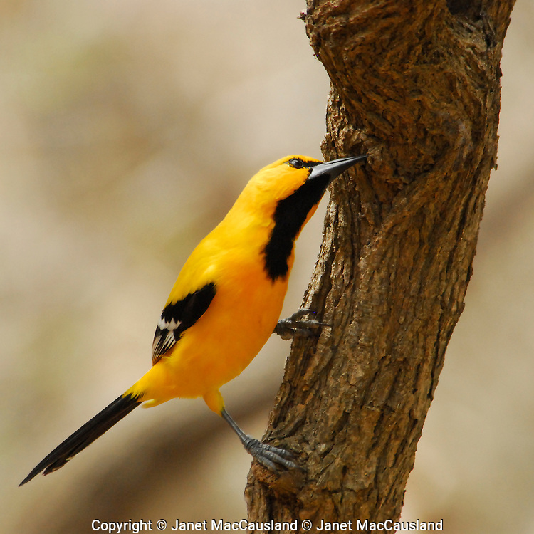 An oriole picks bugs from a tree trunk in Washington Slagbaai National Park, Bonaire, Netherland Antilles.