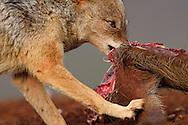 Black-backed jackal (Canis mesomelas), on a Bush Pig carcass, Zimanga Private Nature Reserve, KwaZulu Natal, South Africa