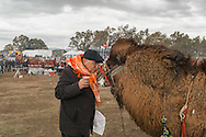 TURKEY, Izmir, Selçuk. A fan talks and kisses a competing camel at rest at the 35th annual Selçuk Camel Wrestling competition, near Izmir, Turkey