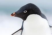 Adelie Penguin (Pygoscelis adeliae) at Penguin Island, South Shetland Islands, Antarctica.