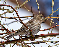 Crossed-bill/beak finch or female house finch (?) on a vine.  Backyard winter nature in New Jersey. Image taken with a Nikon D2xs camera and 80-400 mm VR lens (ISO 100, 400 mm, f/9, 1/320 sec).