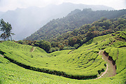 Tea plantation India, Kerala, a state on the tropical coast of south west India