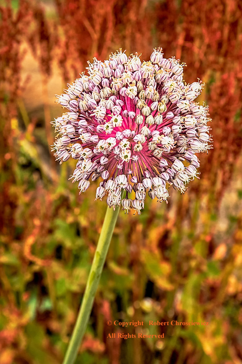 Flowering Allium: An Allium in mid-summers full bloom, with the surrounding vegetation already taking on the rustic colours of autumn, Richmond British Columbia Canada.