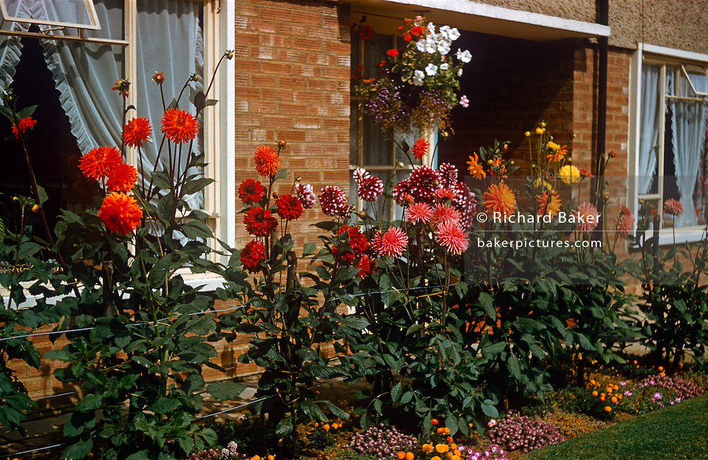 Homegrown beds of dahlias grow in the front garden of a council house in the early 1960s.