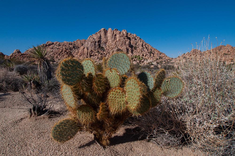 Beavertail Pricklypear (Opuntia basilaris) Cactus, Willow Hole Trail, Joshua Tree National Park, California, US