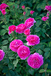 Rosa 'England's Rose' syn. 'Auslounge'