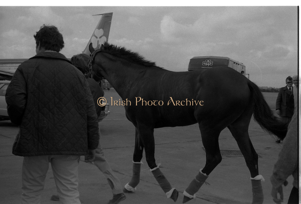 Arrival of Ninski Major and Torus.   (M95)..1979..11.10.1979..10.11.1979..11th October 1979..With the Irish St Ledger to be run, on Saturday 13th Oct, two of the race favourites landed at Dublin Airport today. Ninski Major to be ridden by Willie Carson and Torus to be ridden by John Reid unloaded from the Aer Turas animal transport..Torus waits as the horsebox moves into position before his journey to the Curragh,Co Kildare.