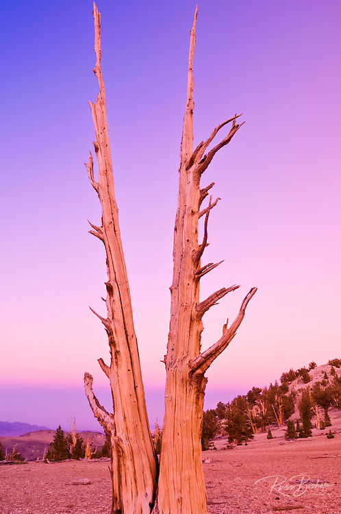 Ancient Bristlecone Pines (Pinus longaeva) at dusk in the Patriarch Grove, Ancient Bristlecone Pine Forest, White Mountains, California