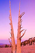 Ancient Bristlecone Pines (Pinus longaeva) at dusk in the Patriarch Grove, Ancient Bristlecone Pine Forest, White Mountains, California