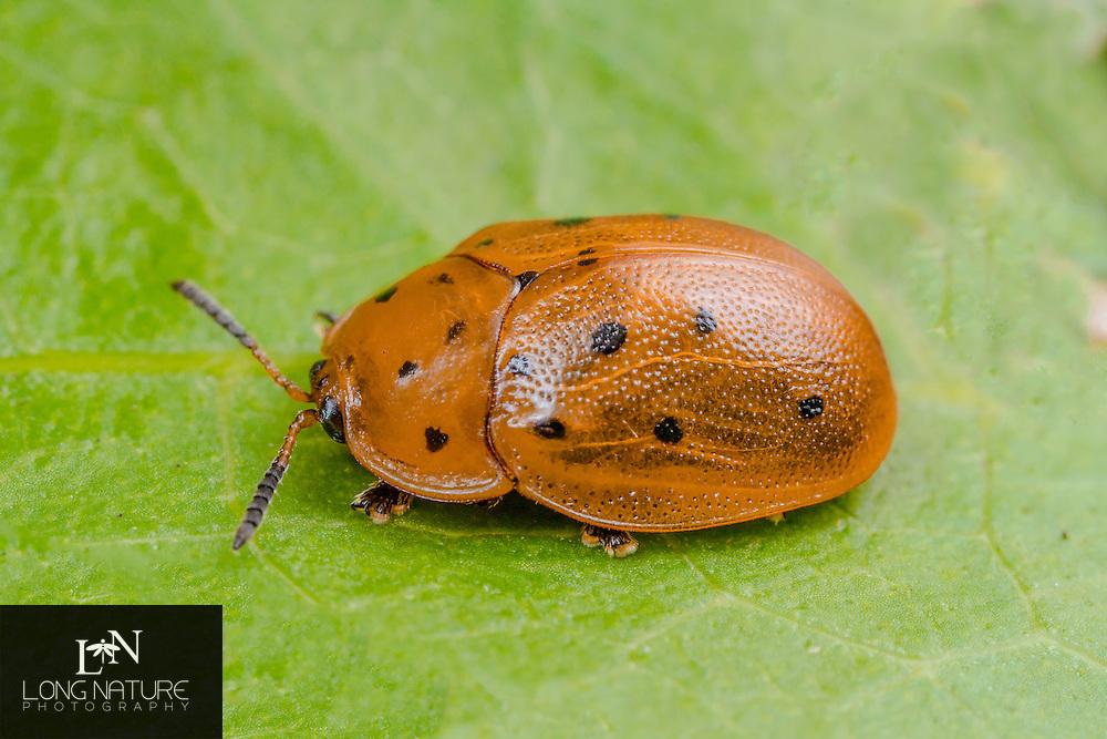 Chelymorpha cassidea - Argus Tortoise beetle