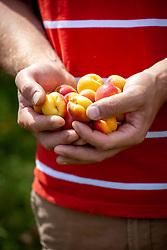 A handful of harvested apricots - Prunus armeniaca