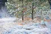 Frosted Winter Pine Tree in Early Morning Sunlight, Spokane, Washington