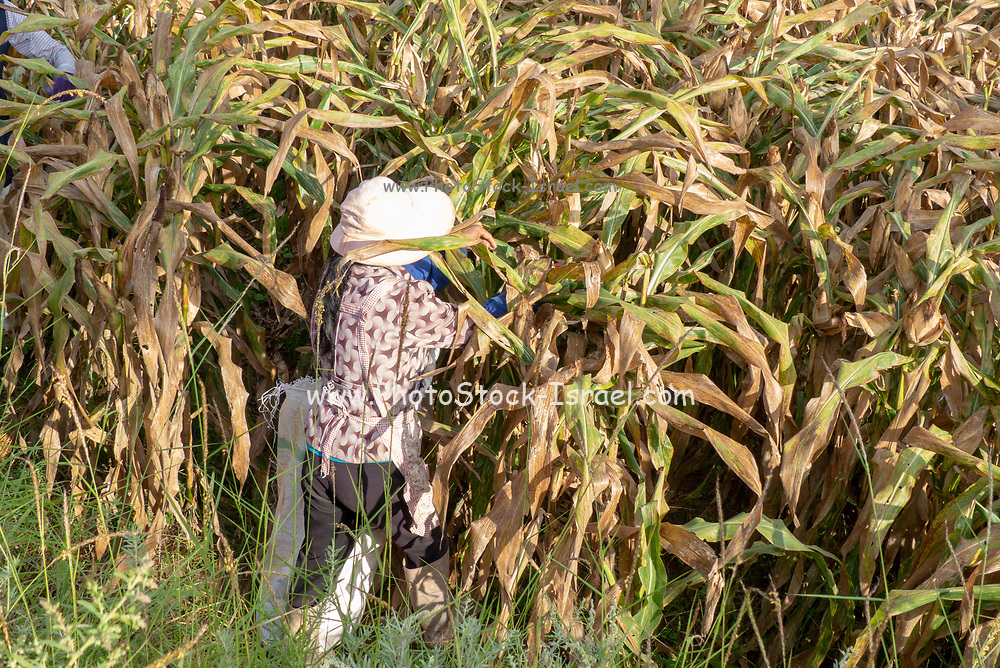 Chinese farmer works in a corn field. Photographed near Shaxi, Jianchuan County, Dali Prefecture, Yunnan province, China