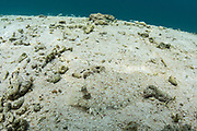 Leopard Flounder (Bothus pantherinus)<br /> Raja Ampat<br /> West Papua<br /> Indonesia