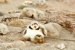 After the sun goes down on the Massachusetts beach,Piping Plover chicks huddle under their mother's warm breast. Endangered Piping Plovers lay their eggs on the upper beaches amongst the rocks they resemble. The eggs are difficult to spot even when you know to look for them, so they are vulnerable and protected. Both parents share sitting on the eggs.