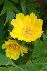 Yellow tree peony. Paeonia lutea syn. Paeonia delavayi var. lutea