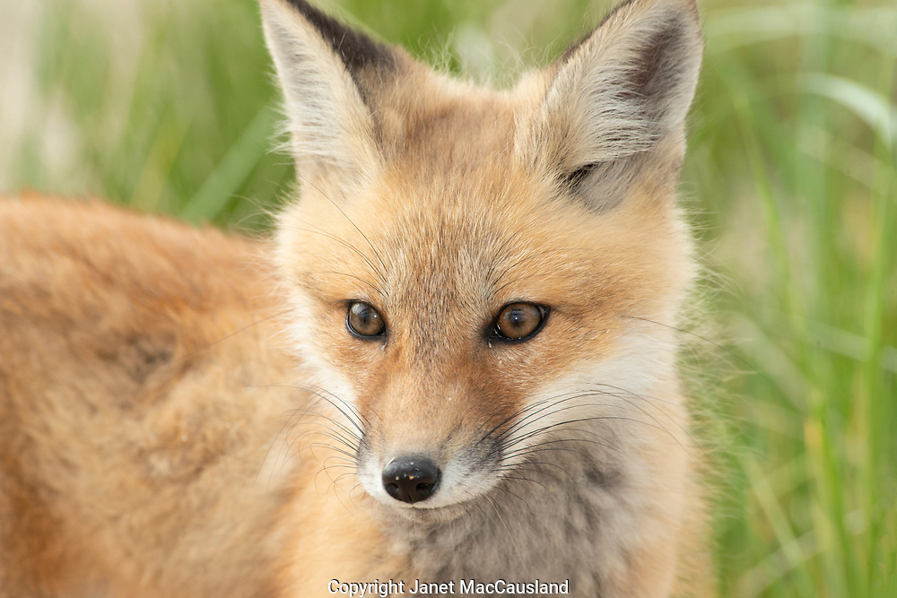 A close look at a fox kit face has been granted to me by my repeated visits to it's den over four months.