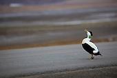Common eider duck, Svalbard